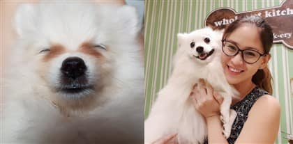 pomeranian-tear-stains-before-and-after