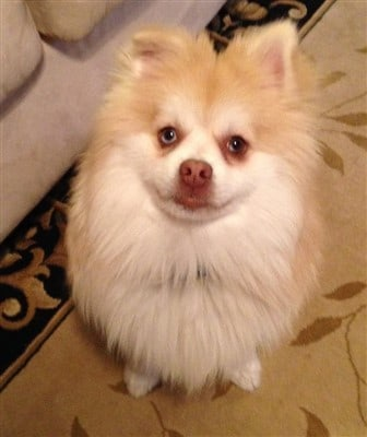 pomeranian-therapy-dog-named-kody-bear