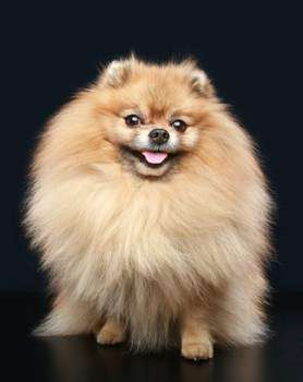 Pomeranian with healthy teeth