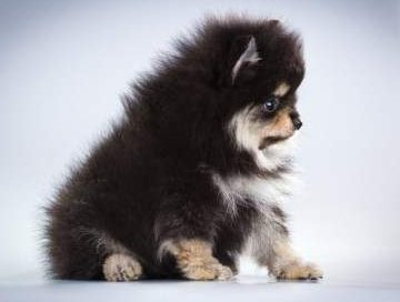 Pomeranian with soft fur
