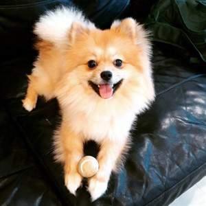 Pomeranian with tennis ball