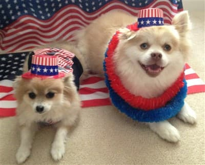 Pomeranians on the 4th of July