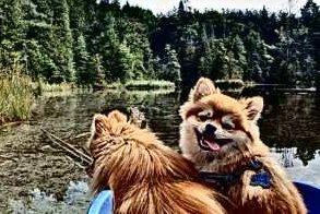 Pomeranians on boat