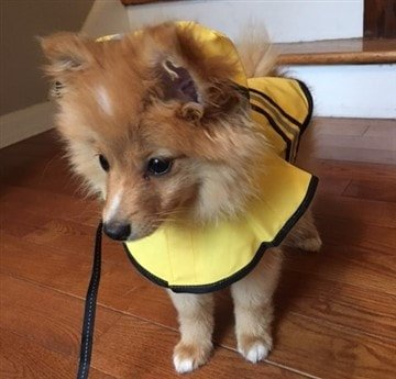 protect-pomeranian-coat-from-getting-wet