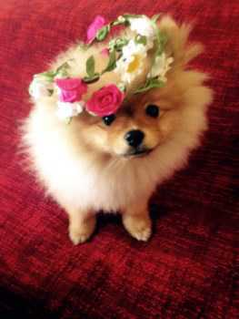 Pomeranian puppy wearing a hat