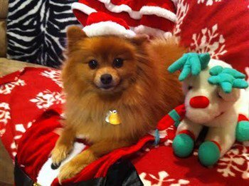 red Pomeranian, 10 years old