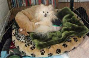rescued Pomeranian in dog bed