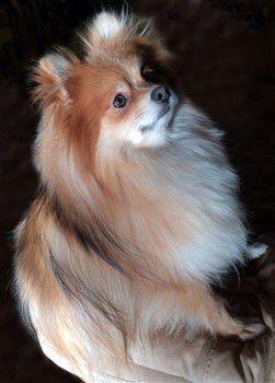 sable Pomeranian, light orange, cream