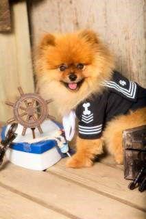 Pomeranian sailor costume