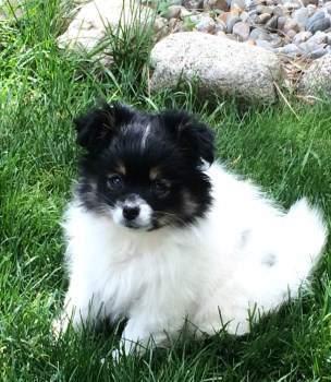 small Pomeranian white and black