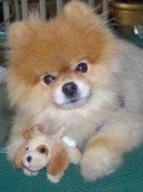 Pomeranian puppy with soft fur
