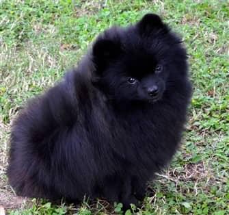 solid-black-pomeranian-dog