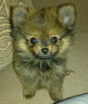 Pomeranian looking up