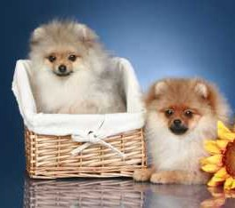 Two healthy Pomeranians