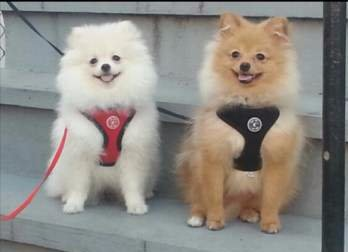 two Poms sitting side by side