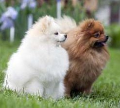 two Poms sitting