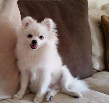 adult white Pomeranian