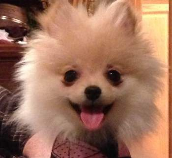 white Pomeranian puppy smiling