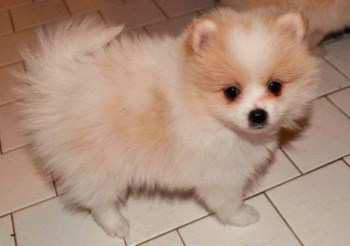 white and tan Pomeranian