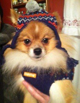 Pomeranian in wintertime