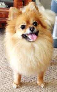 4 year old Pomeranian