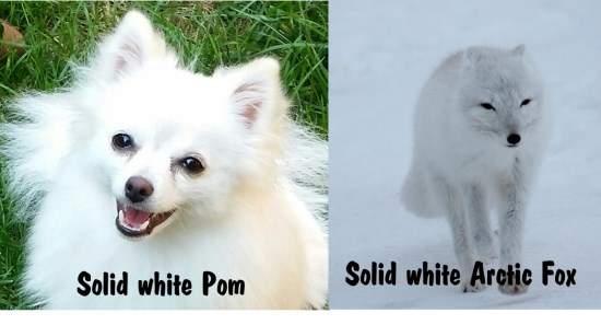 White Pomeranian VS white fox
