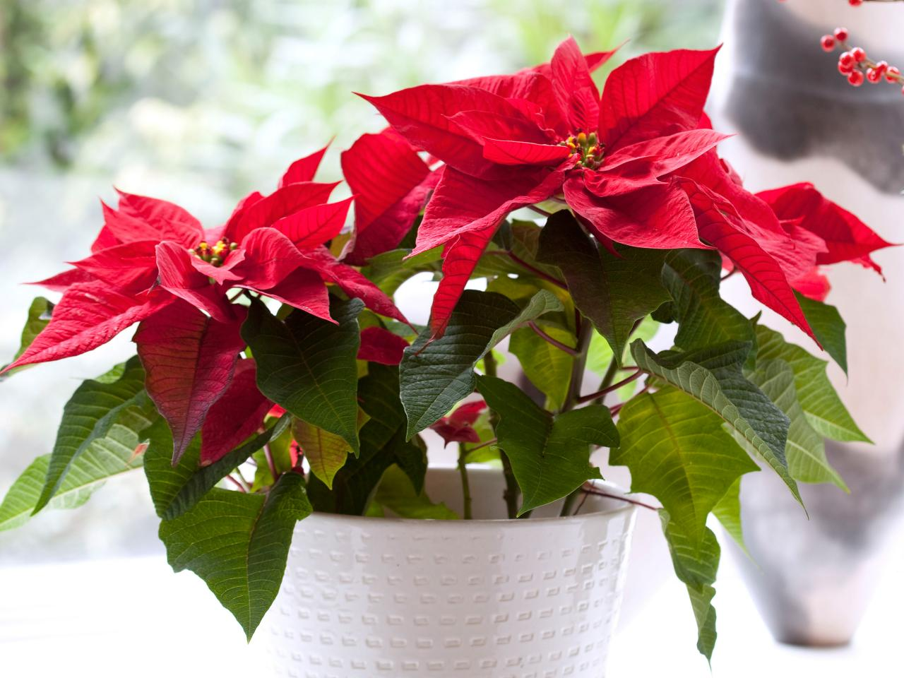 poinsettia not dangerous to animals or pets