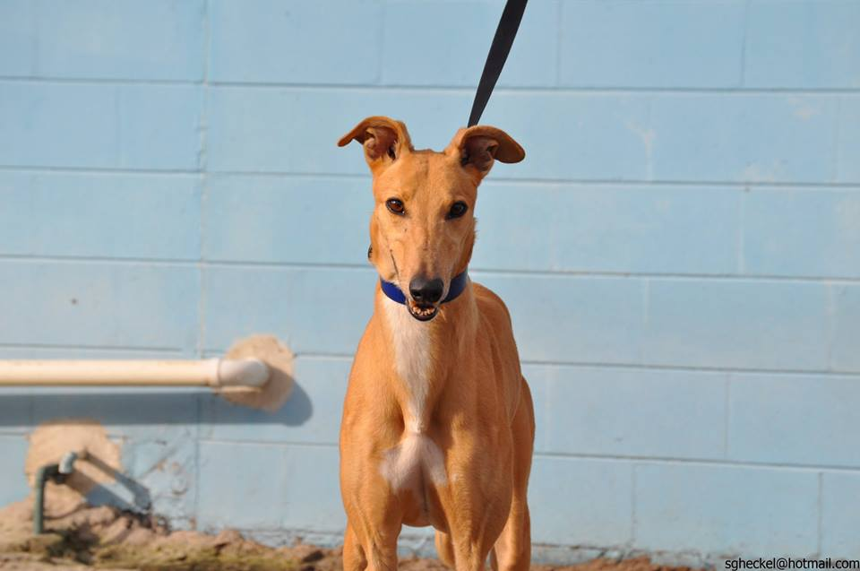 Greyhounds As Pets Jacksonville Fl Recent Adoptions