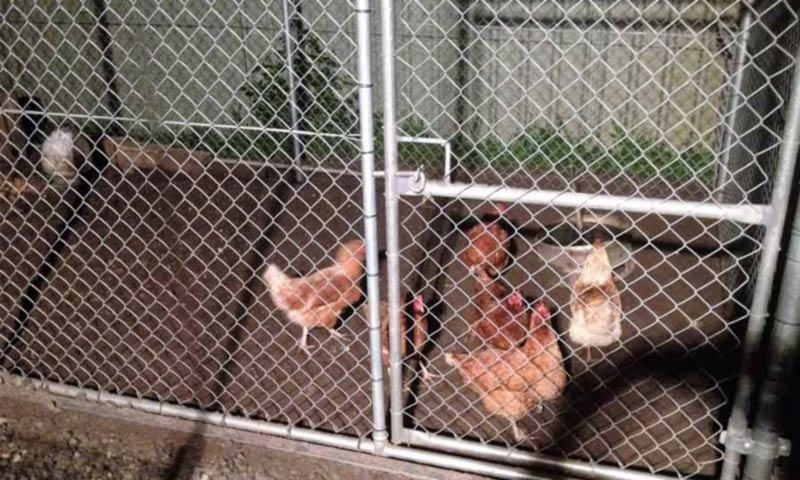 chickens inside fencing