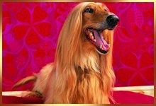 Dog with long furry ears