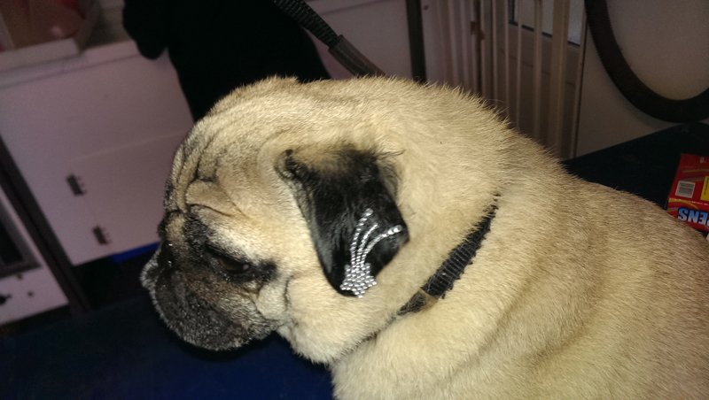Gilbert the Pug: on his leg blow pen leopard print on his ear a furjazzel