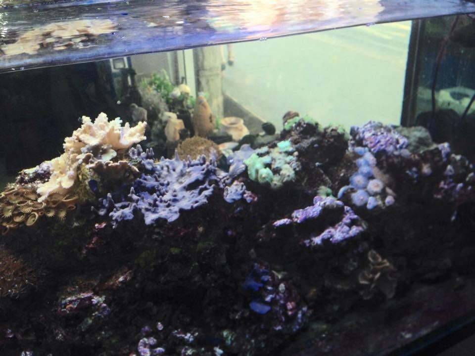 coralli in un acquario