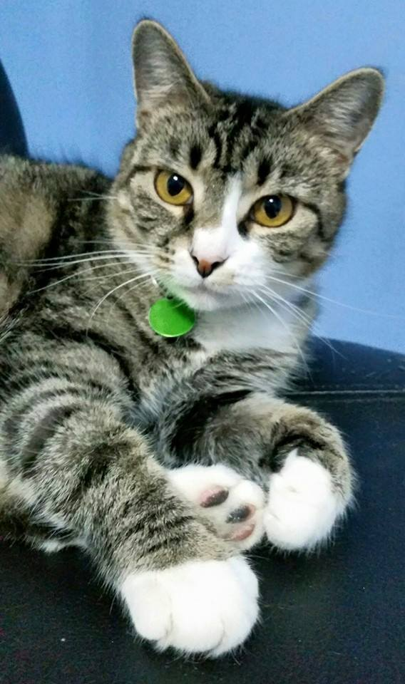 Abigail ~ Resident Cat