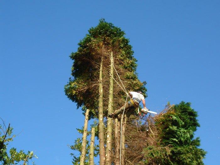 tree surgeon cutting tree