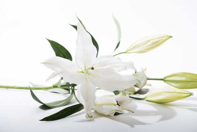 Un rametto con dei fiori bianchi appoggiati su uno sfondo bianco