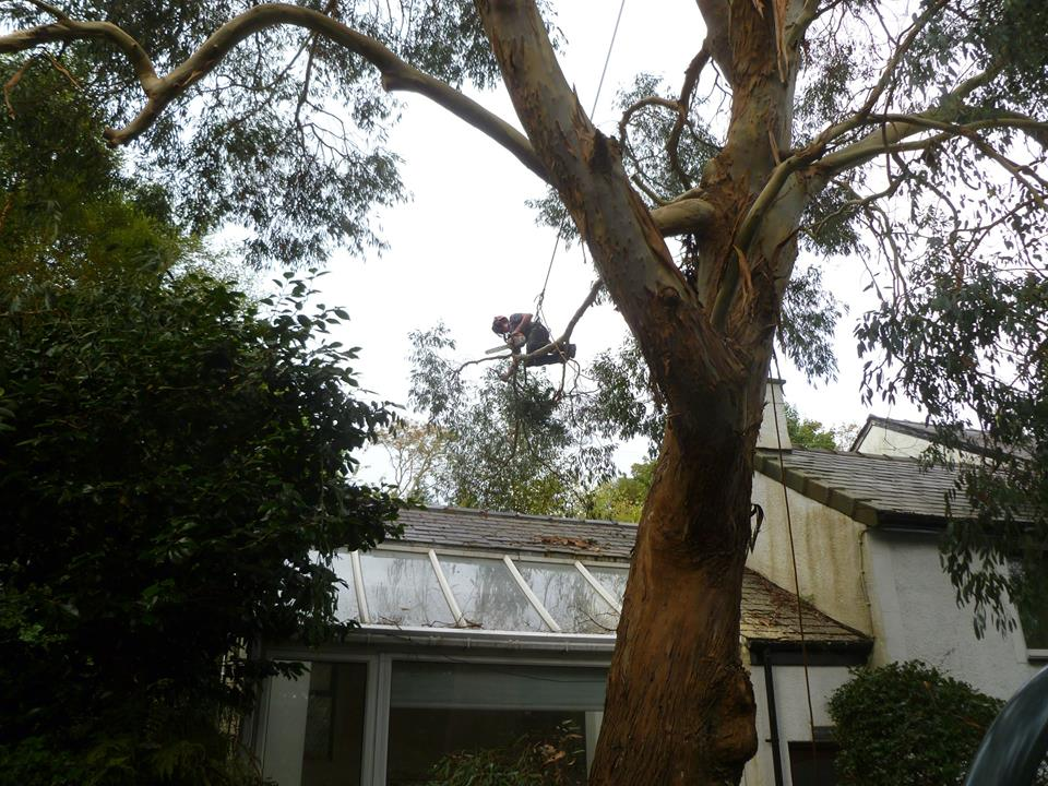 Removing tree branches overhanging the conservatory.