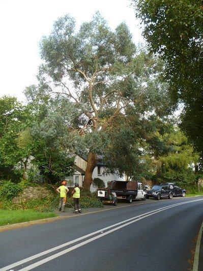 Eucalyptus tree to be dismantled, Llanberis, Caernarfon, North Wales.