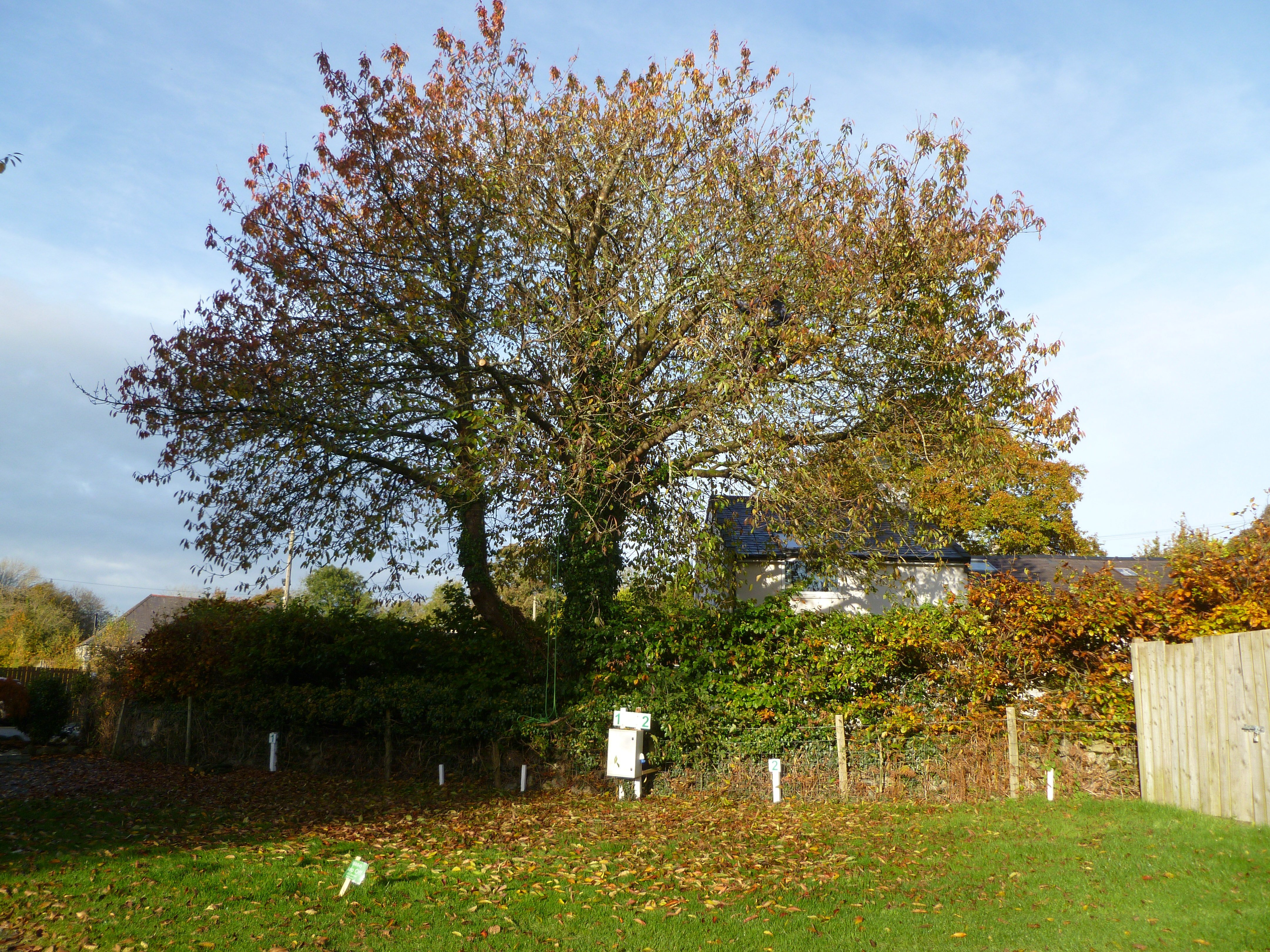 A dense canopy in the Cherry Tree befor any tree surgery work was carried out.