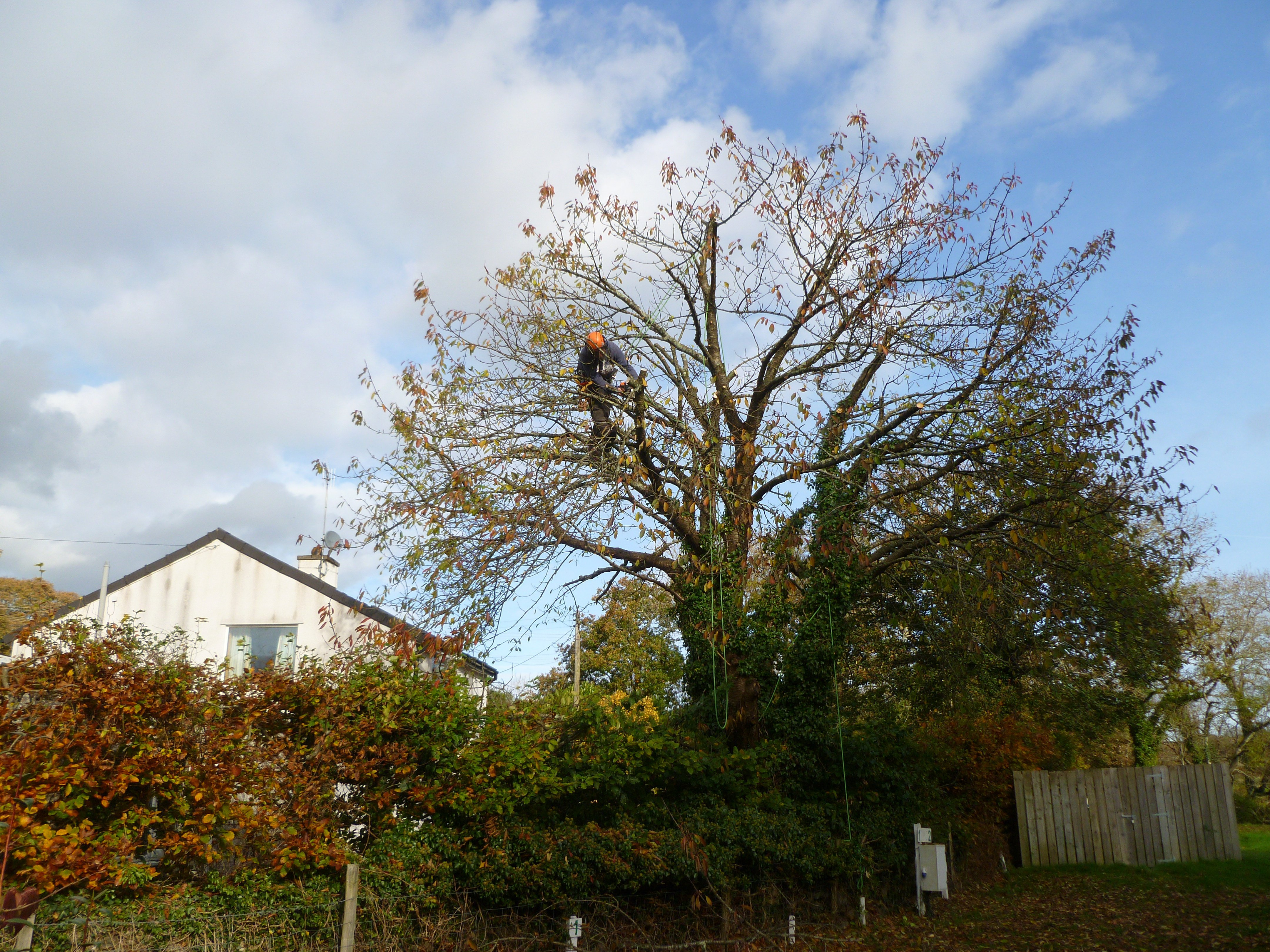 Cherry Tree crown reduction going well, nearly there now.