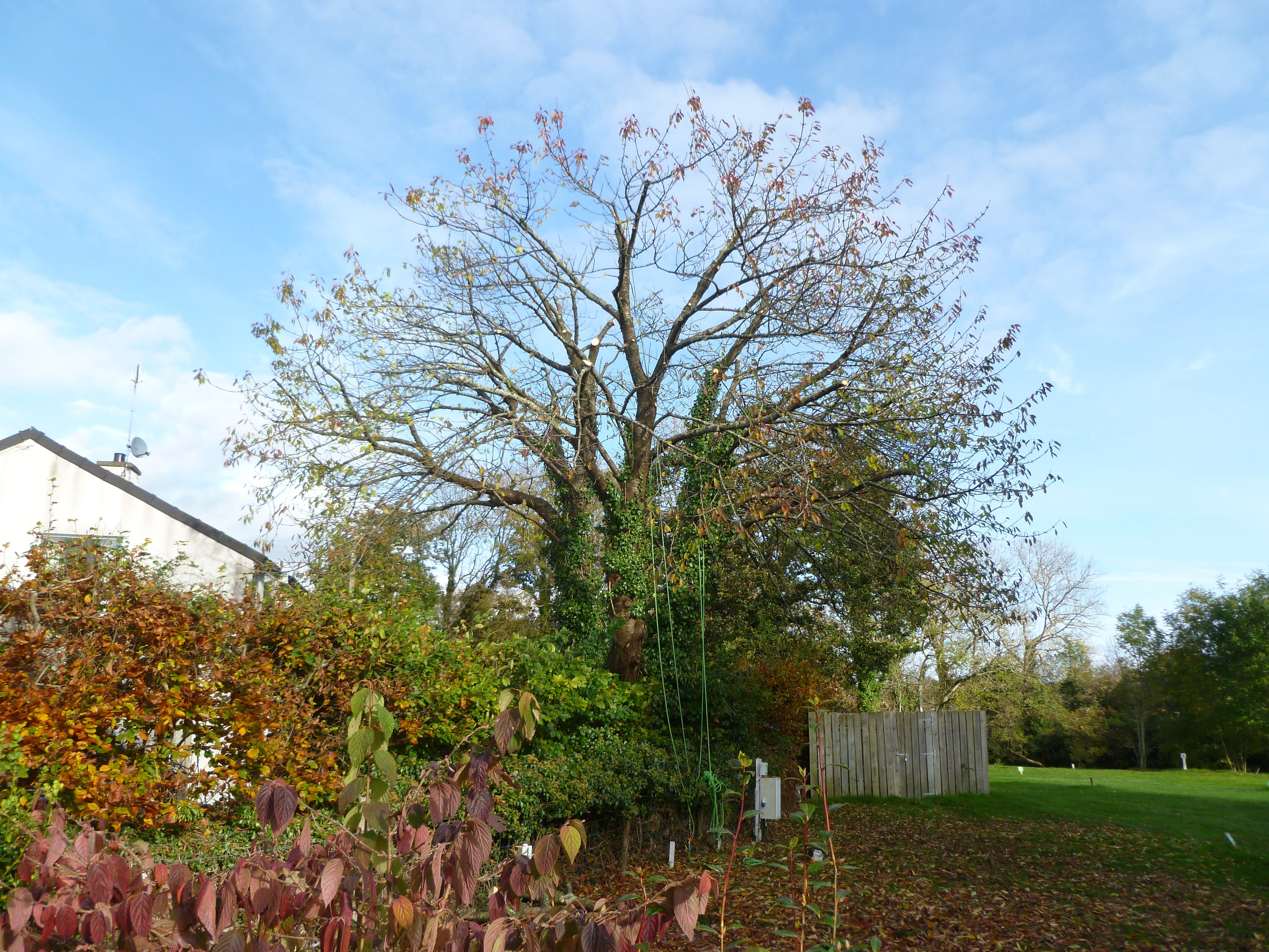 Cherry Tree Crown reduction complete. Another satisfied customer for Dragon Tree Services.