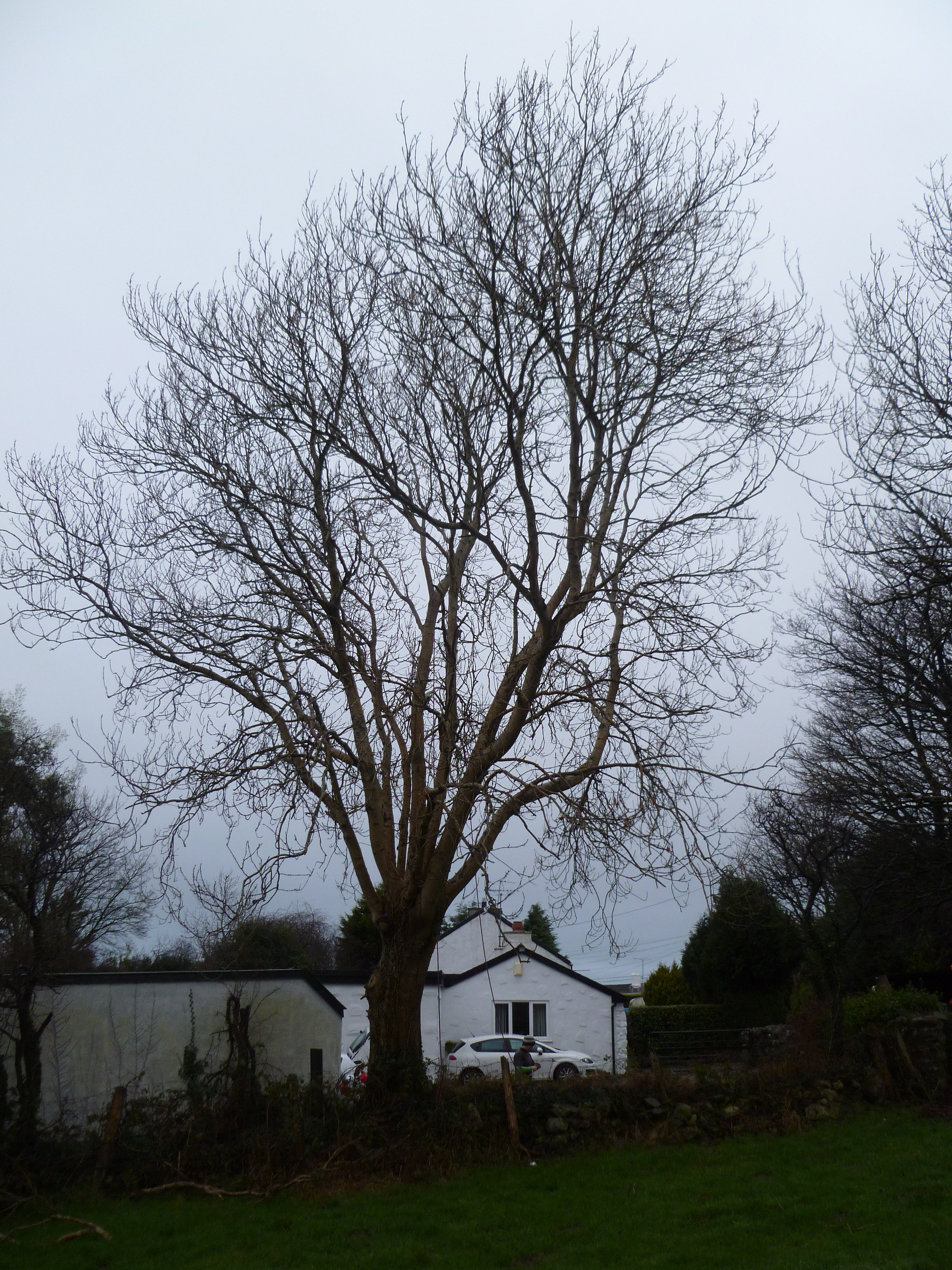 Ash Tree to be removed near Llanrug, North Wales.