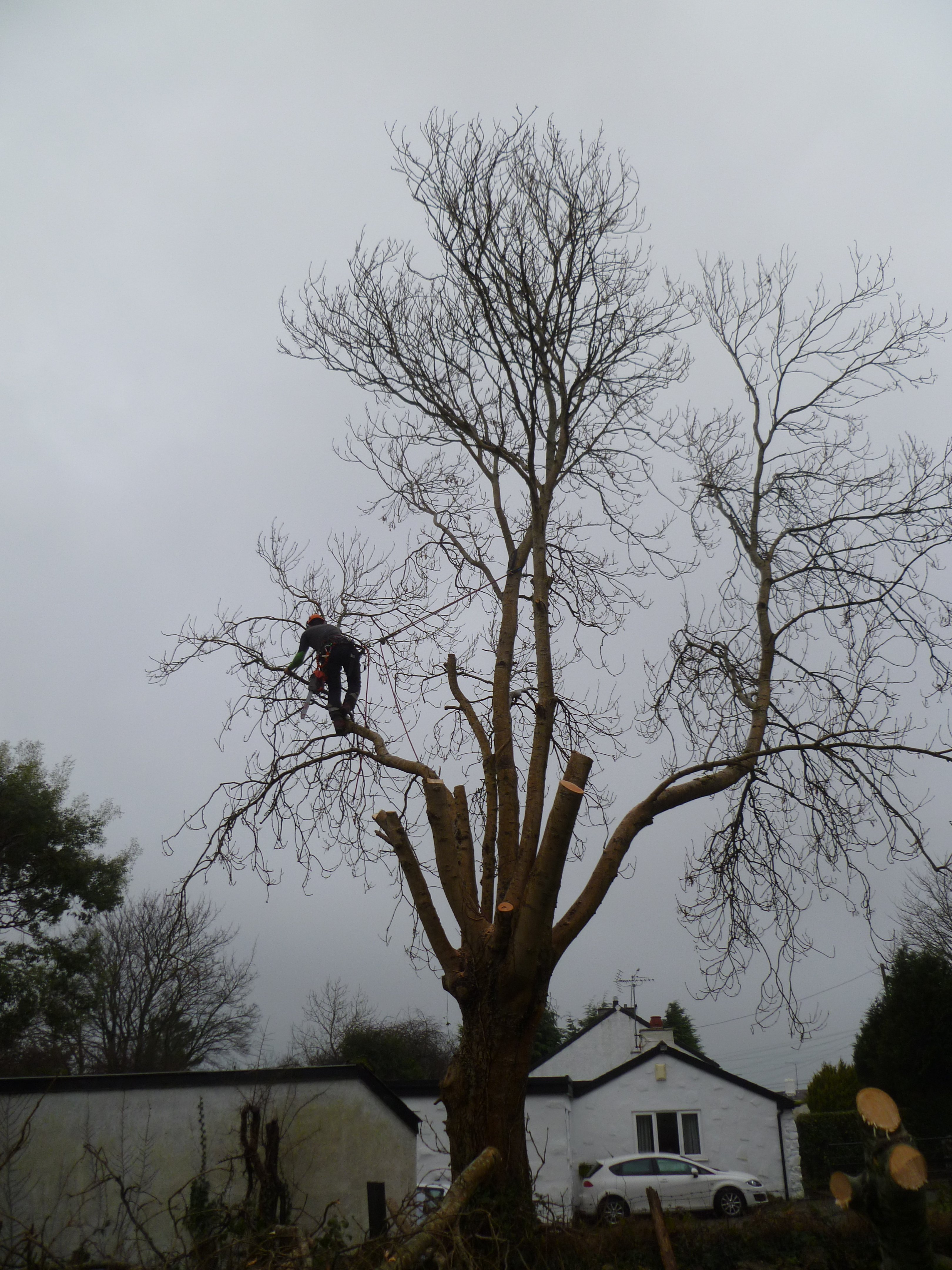 Tree surgeon in the process of dismantling the Ash tree over the garage.