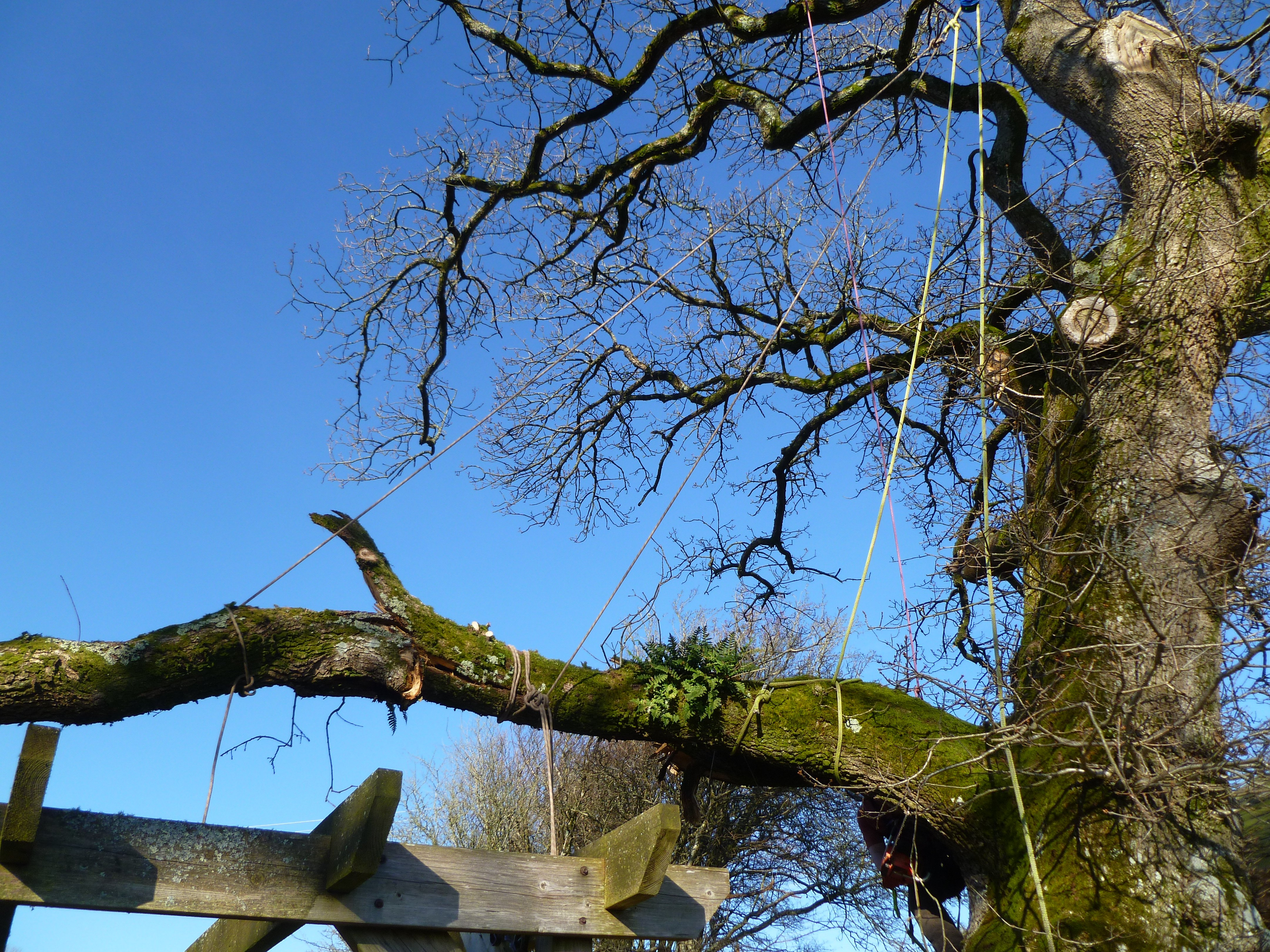 Several rigging and lowering ropes were used to secure the Oak tree branches in order to safely dismantle them.