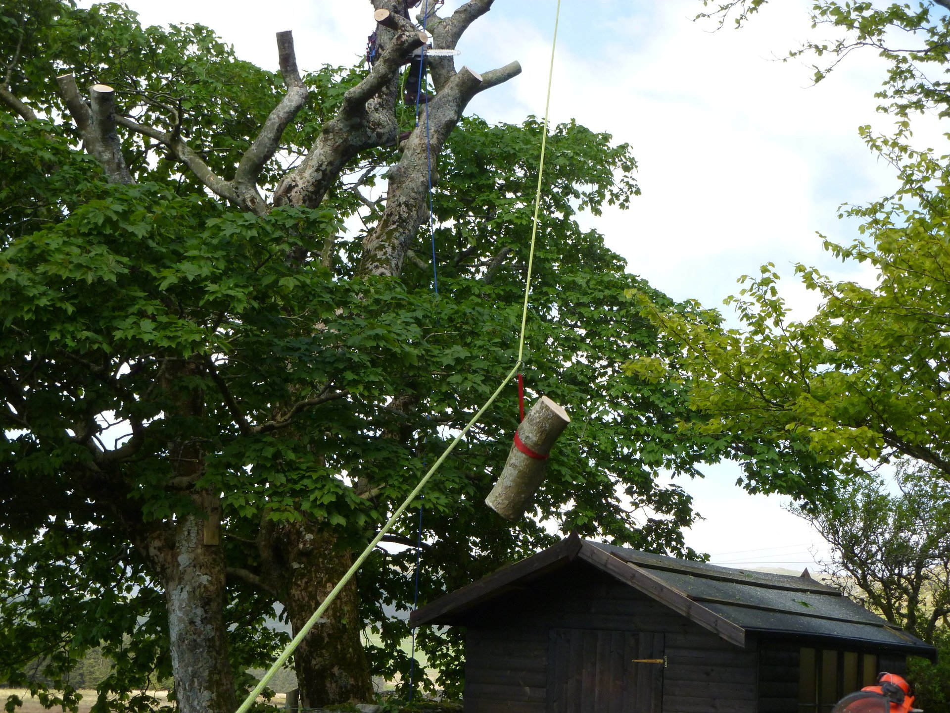 Precision tree work to avoid damaging the shed.
