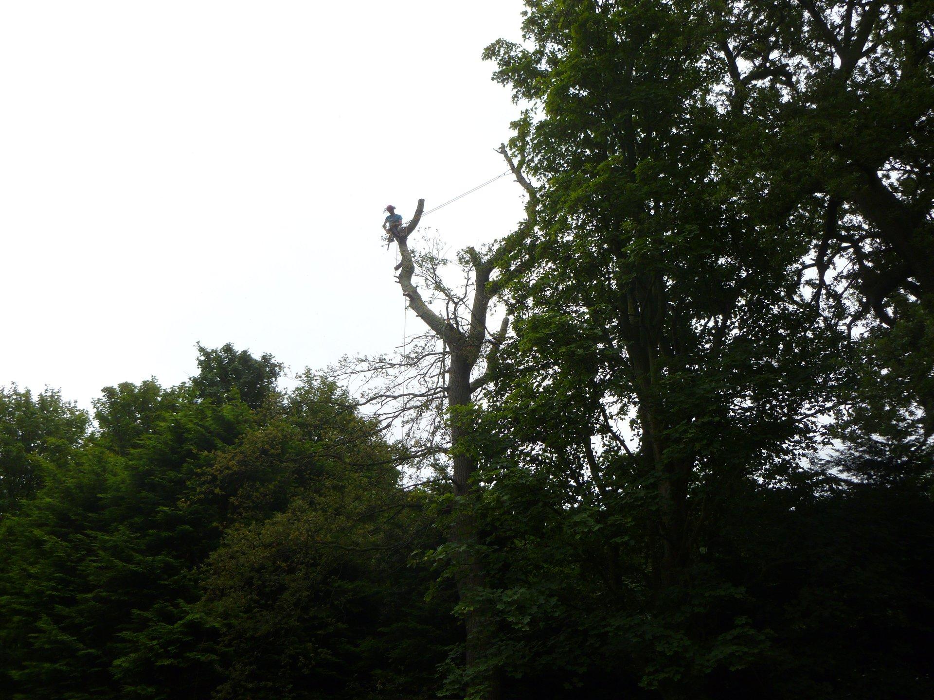 Oak tree removal nextto North Wales coastline.