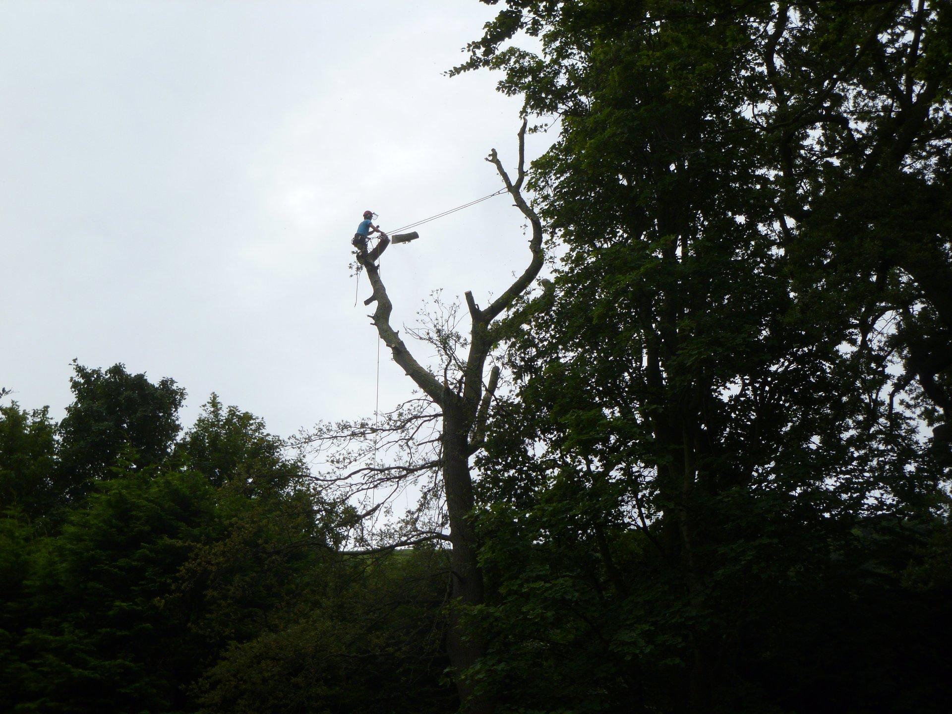 Sectionally dismantling an Oak tree near Llanfairfechan.