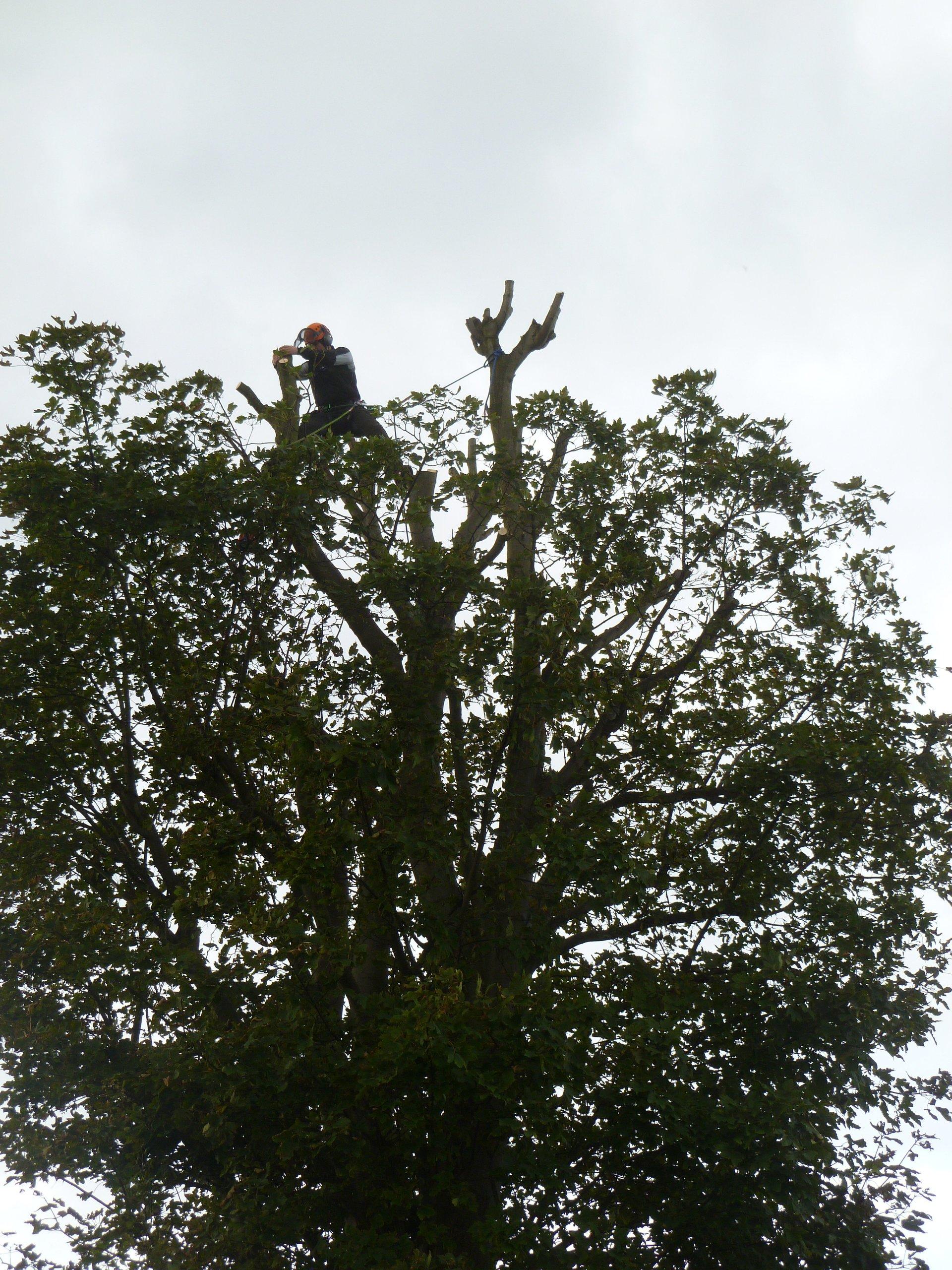 Chestnut tree reduction in Caernarfon, North Wales.