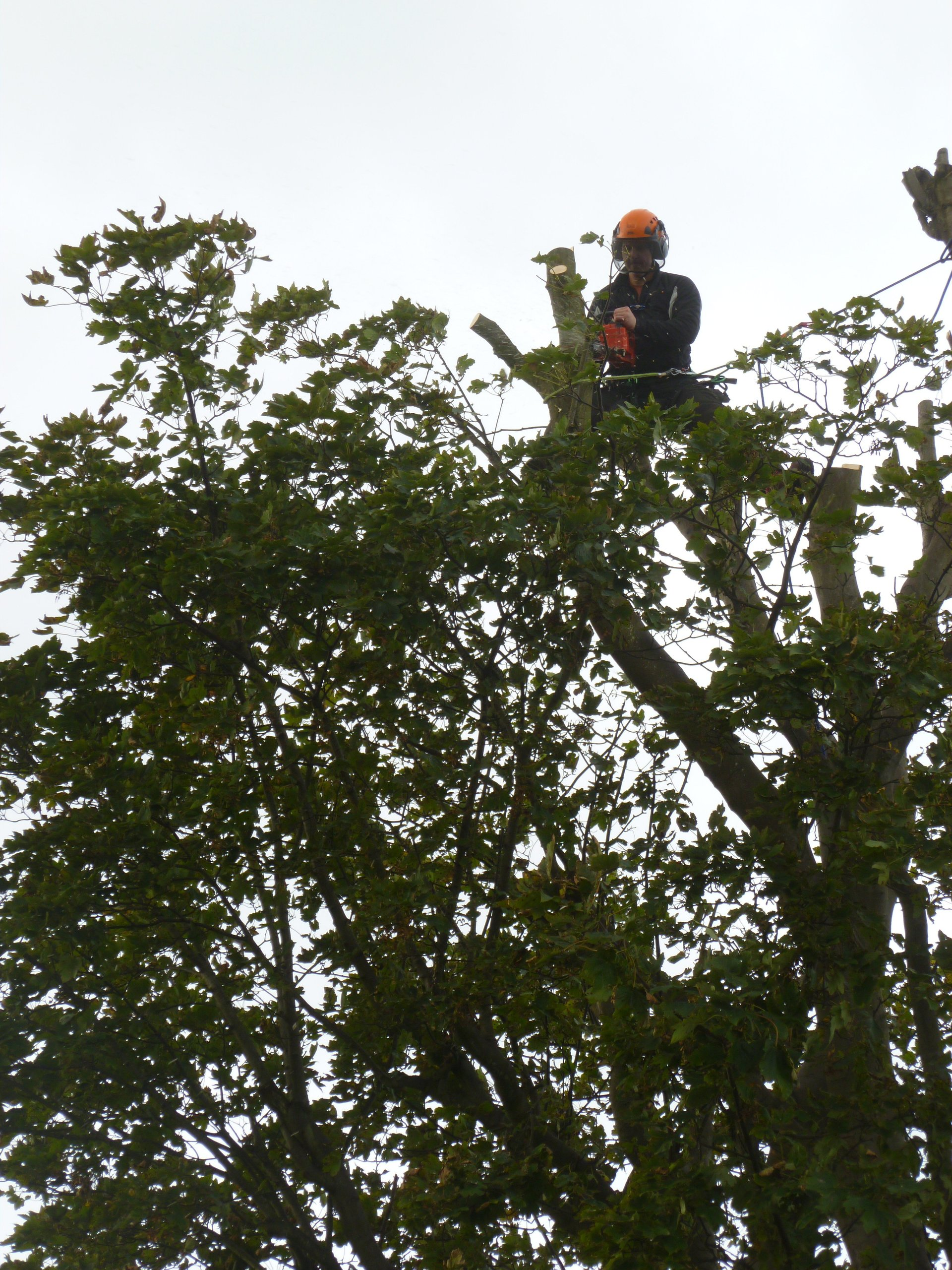 Tree surgeon with a face of concentration.