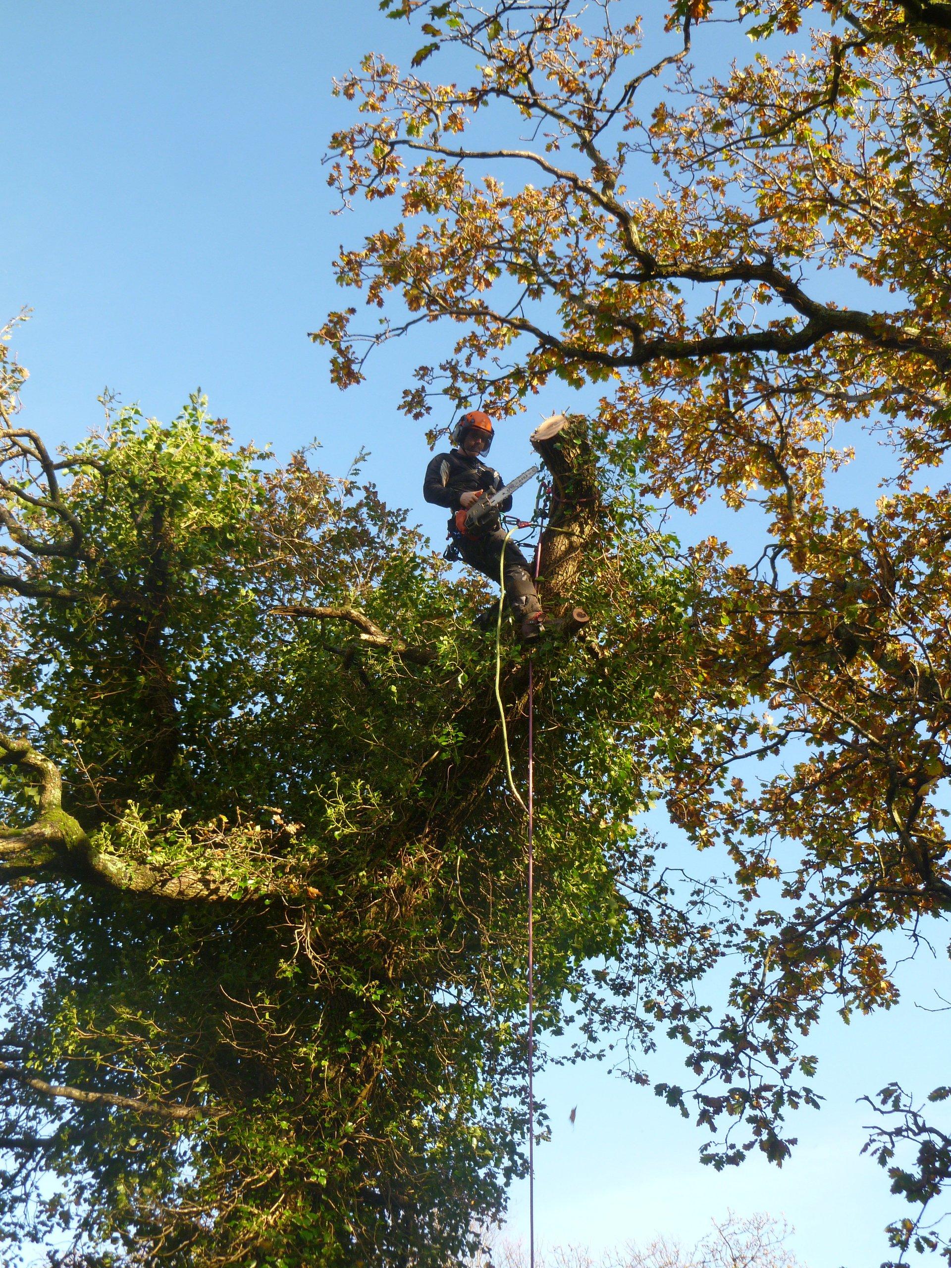 Oak tree reduction in Llanberis, North Wales.