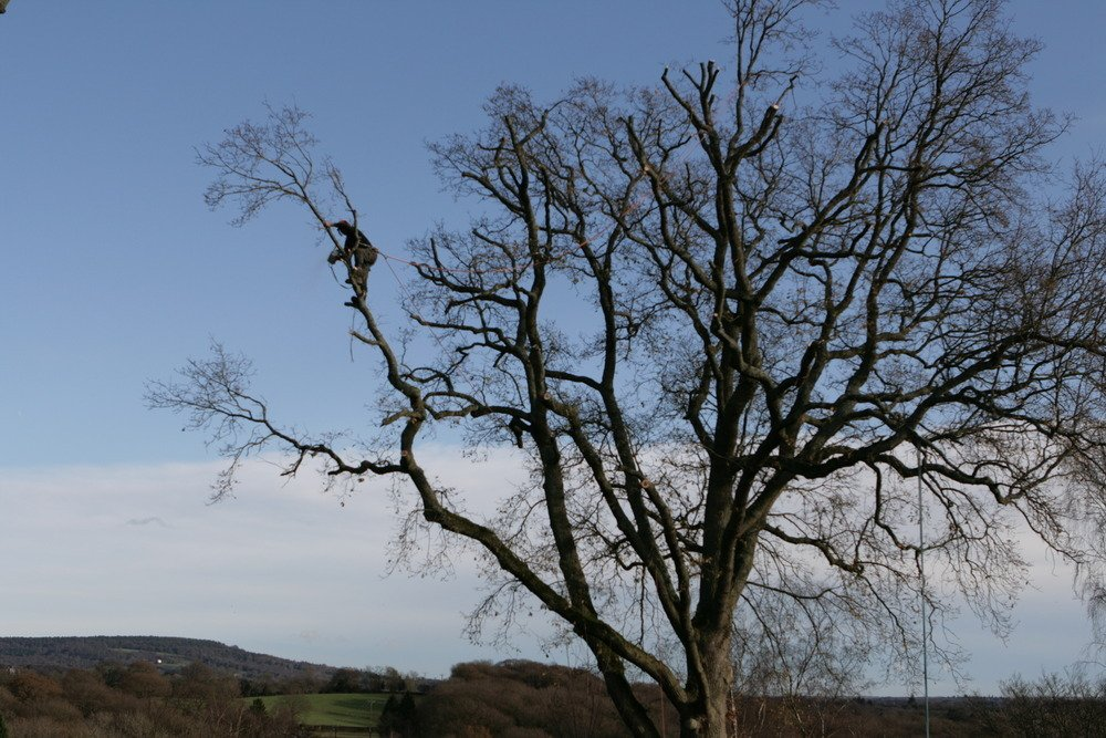 Tree surgery technique, crown thinning throughout North Wales. Tree surgery Caernarfon, North Wales.
